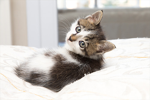 image for June is Adopt-A-Shelter-Cat Month